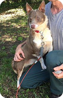 Corgi/Australian Shepherd Mix Dog for adoption in Hendersonville, North Carolina - Griffith