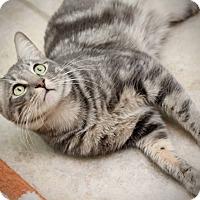 Adopt A Pet :: Swirl - San Antonio, TX