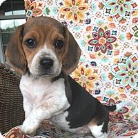 Adopt A Pet :: Violet - Russellville, KY