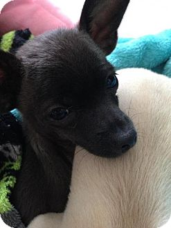 Chihuahua Dog for adoption in Centreville, Virginia - Andy