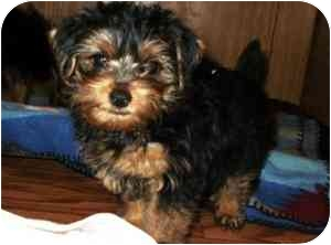 Yorkie, Yorkshire Terrier Puppy for adoption in North Benton, Ohio - Brownie