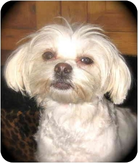 Maltese/Lhasa Apso Mix Dog for adoption in Winnetka, California - Princess Fiona