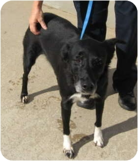 Border Collie Mix Dog for adoption in Stillwater, Oklahoma - Evie
