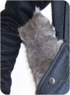 Domestic Shorthair Kitten for adoption in Alden, Iowa - Hannah