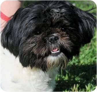 Shih Tzu Dog for adoption in Wakefield, Rhode Island - DOROTHY