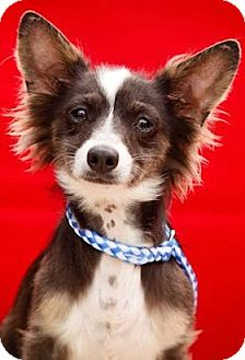 Papillon/Chihuahua Mix Puppy for adoption in Redondo Beach, California - Kisses