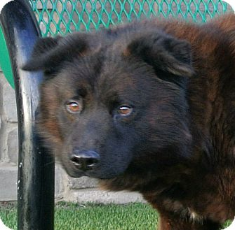 Chow Chow Mix Dog for adoption in white settlment, Texas - Si