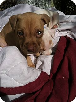 American Pit Bull Terrier Mix Puppy for adoption in Houston, Texas - Tucker