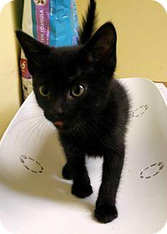 Domestic Shorthair Kitten for adoption in St. Louis, Missouri - Sherlock