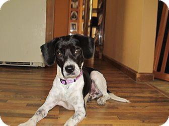 German Shorthaired Pointer/Beagle Mix Dog for adoption in Cincinnati, Ohio - Chancy