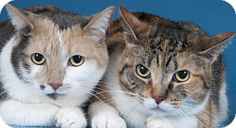 Domestic Shorthair Cat for adoption in Chicago, Illinois - Cindy & Rachel