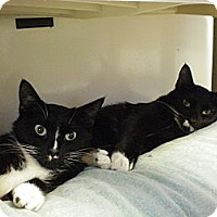 Domestic Shorthair Cat for adoption in House Springs, Missouri - Groucho and Zeppo