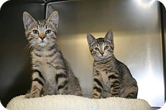Domestic Shorthair Kitten for adoption in Jackson, New Jersey - Gingerbread and Sugarplum