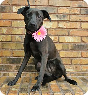 Labrador Retriever Mix Dog for adoption in Benbrook, Texas - Rosie
