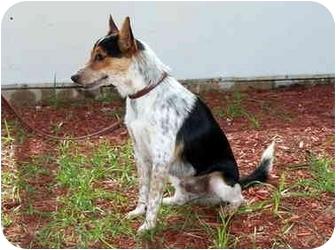 Cattle Dog Mix Dog for adoption in Ft. Pierce, Florida - Dakota