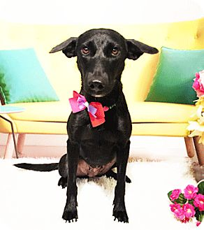 Labrador Retriever Mix Dog for adoption in Castro Valley, California - Missy