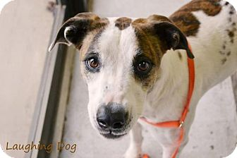 Catahoula Leopard Dog/Greyhound Mix Dog for adoption in Stillwater, Oklahoma - Katie