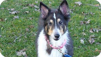 Sheltie, Shetland Sheepdog Dog for adoption in New Castle, Pennsylvania - Callie (Adopted)