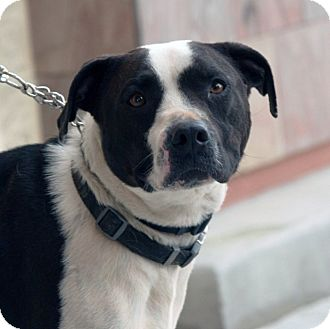 Pit Bull Terrier Mix Dog for adoption in Palmdale, California - Sammy