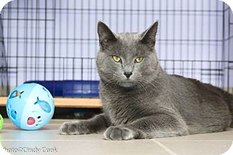 Domestic Shorthair Cat for adoption in Ann Arbor, Michigan - Blue