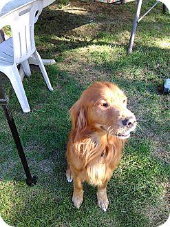 Gordon Setter Dog for adoption in bath, Maine - BUDDY