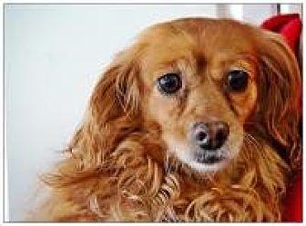 Cavalier King Charles Spaniel/Dachshund Mix Dog for adoption in Mount Gretna, Pennsylvania - Comet
