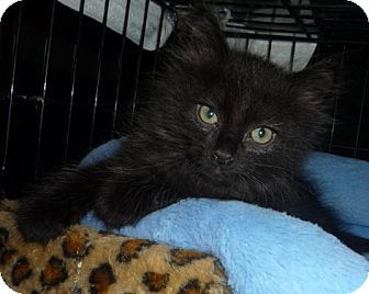 Maine Coon Kitten for adoption in Dallas, Texas - Furby