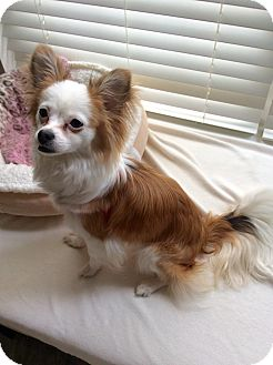 Papillon/Mixed Breed (Small) Mix Dog for adoption in Newfield, New Jersey - Lily