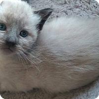 Adopt A Pet :: Seraphim - Jefferson, NC
