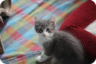 Maine Coon Kitten for adoption in Richmond, Virginia - Cory