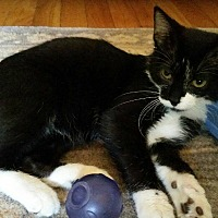 Domestic Shorthair Cat for adoption in Crown Point, Indiana - Rascal