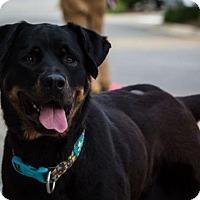 Adopt A Pet :: Care Bear - Hillside, IL