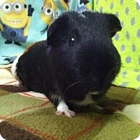 Adopt A Pet :: Widget - Coral Springs, FL