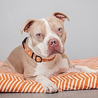 Adopt A Pet :: Scrappy Doo - Mission Hills, CA