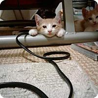 Adopt A Pet :: Babe - Honolulu, HI