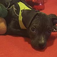 Adopt A Pet :: Radar - Vacaville, CA