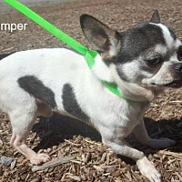 Chihuahua Dog for adoption in Yreka, California - Stomper