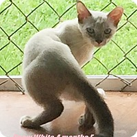 Siamese Kitten for adoption in Brandon, Florida - Snow White