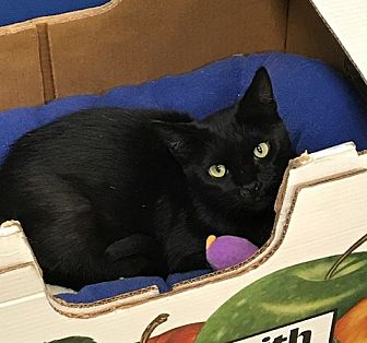Domestic Shorthair Cat for adoption in Byron Center, Michigan - Lillie