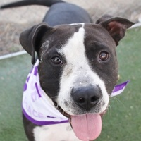 Adopt A Pet :: SMOKE - Las Vegas, NV