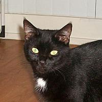 Adopt A Pet :: Royal (kitten) - Watsontown, PA
