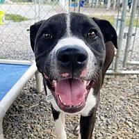 Adopt A Pet :: Nori - Waynesville, NC