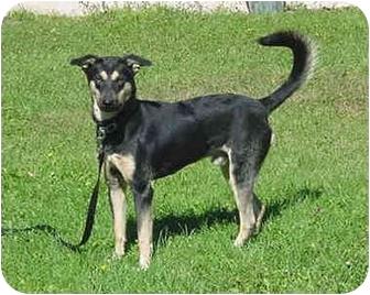 German Shepherd Dog/Siberian Husky Mix Dog for adoption in Austin, Minnesota - Wycleff
