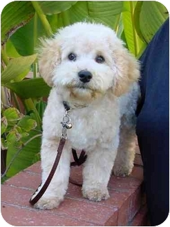 Bichon Frise/Poodle (Toy or Tea Cup) Mix Puppy for adoption in La Costa, California - Rowdy