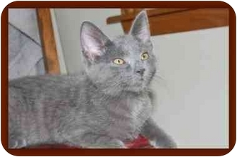 Domestic Shorthair Kitten for adoption in Sterling Heights, Michigan - Nalina - ADOPTED!
