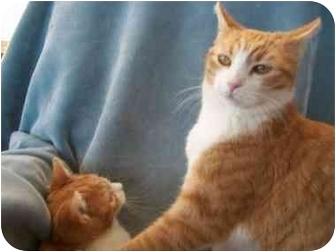 Domestic Shorthair Cat for adoption in Quartzsite, Arizona - Ginger