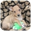 Photo 1 - Border Terrier/Terrier (Unknown Type, Small) Mix Puppy for adoption in Newport Beach, California - ALVIN