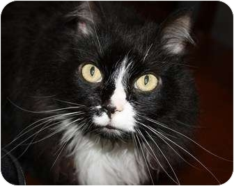 Maine Coon Cat for adoption in Knoxville, Tennessee - Charlie Tuna