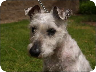 Schnauzer (Miniature) Dog for adoption in El Cajon, California - Casey