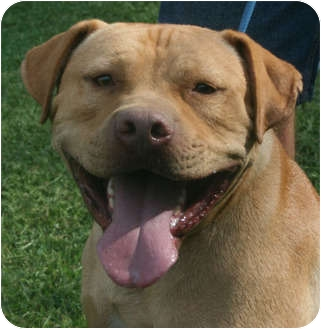 American Pit Bull Terrier Dog for adoption in Londonderry, New Hampshire - Bullett (reduced fee $250)